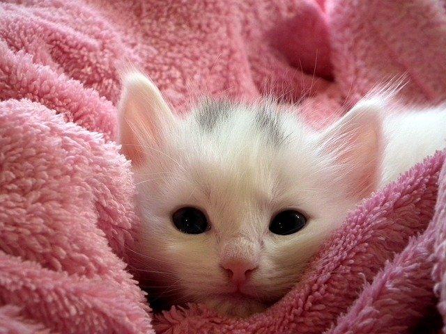 bílá kočička v dece