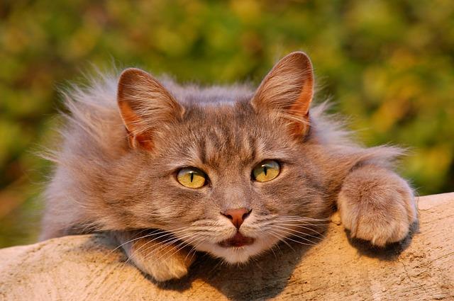 velká kočka na kládě
