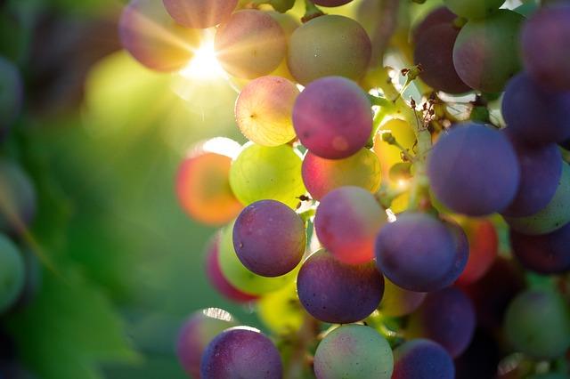 moravská vinice